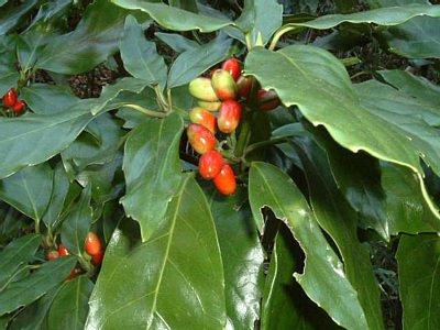 アオキ (植物)の画像 p1_32