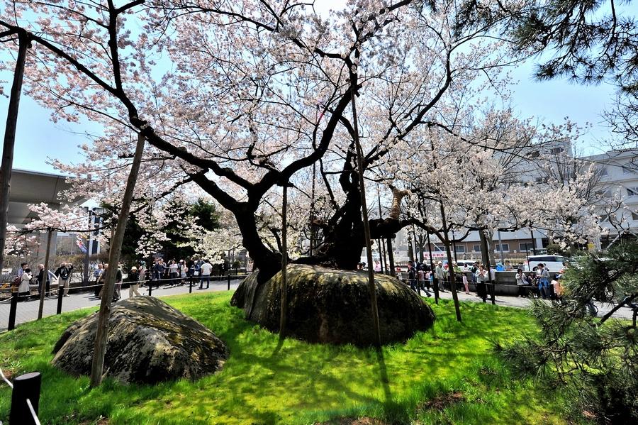 石割桜の謎